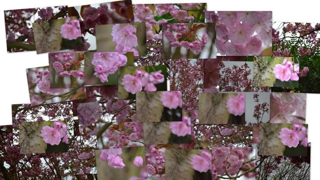Cherry blossom c2